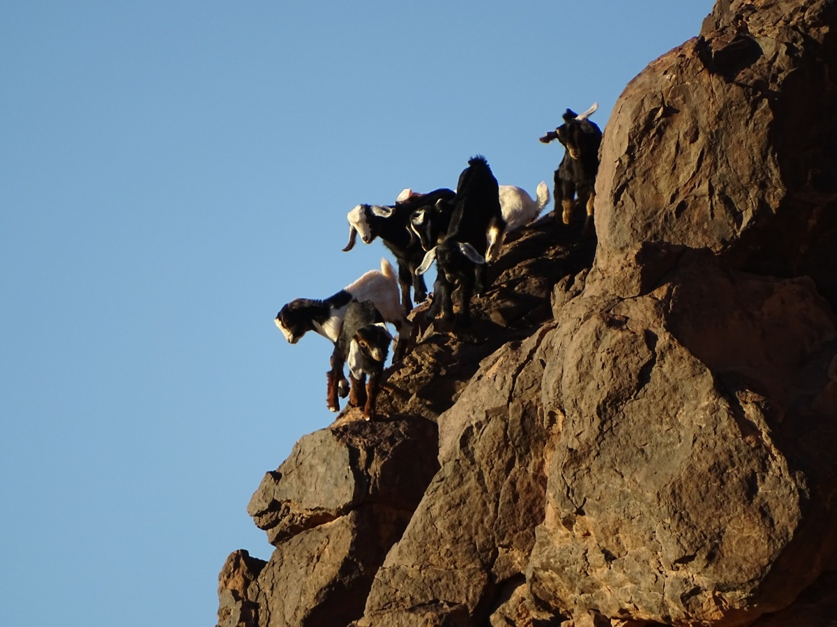 Morocco Ride – Kiddy Goats