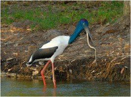A Jabiru with file snake