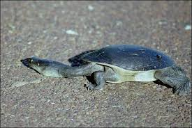 That long necked turtle